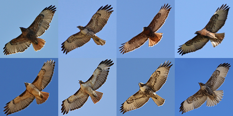 Red-tailed Hawk RTHA