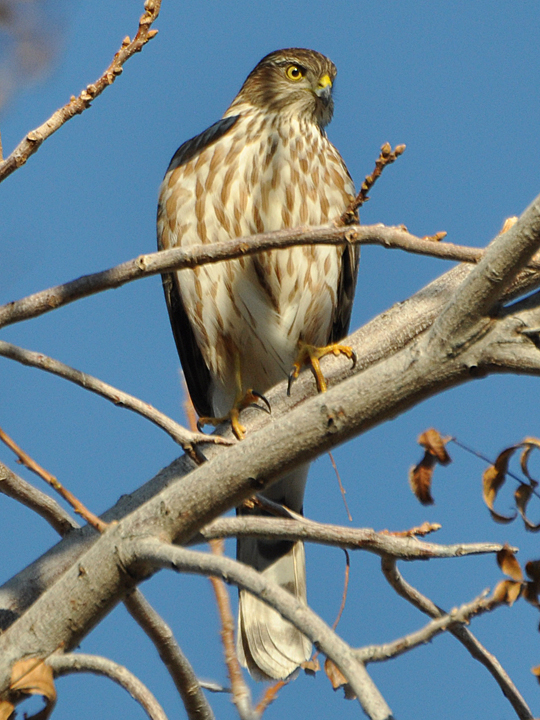 Sharp-shinned Hawk SSHA
