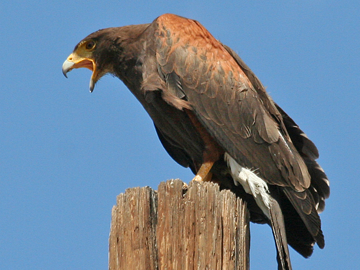 Harris's Hawk HASH