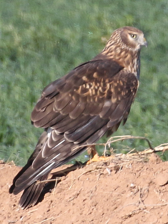 Northern Harrier NOHA
