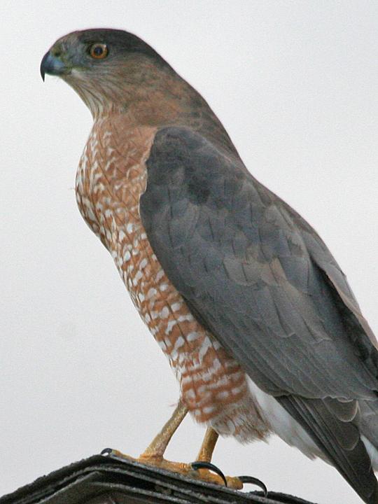 Cooper's Hawk COHA