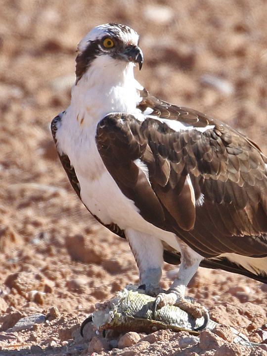 Osprey OSPR