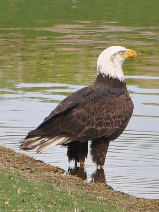 Bald Eagle BAEA