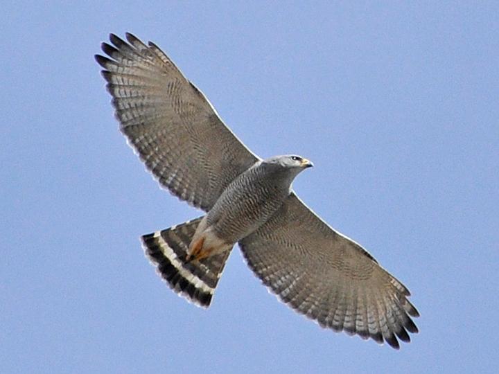 Gray Hawk GRHA