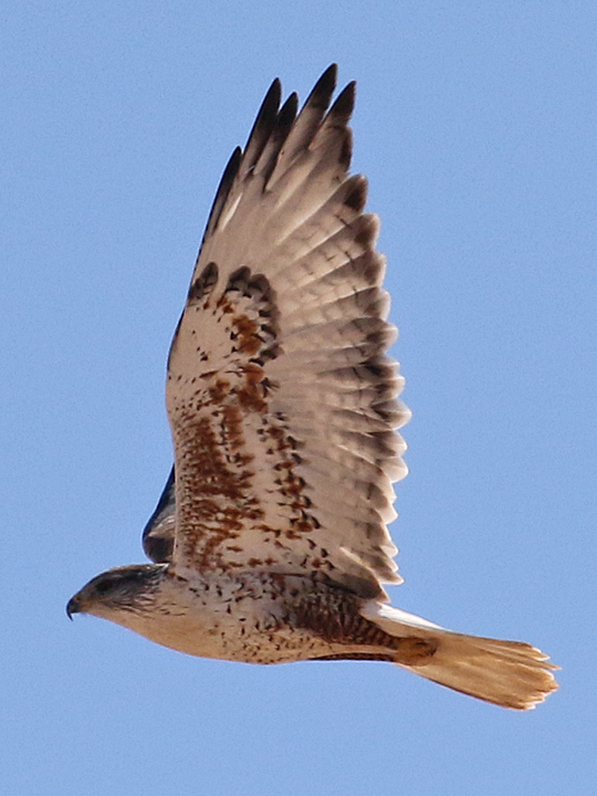 Ferruginous Hawk FEHA