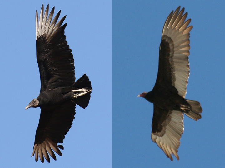 Black Vulture vs Turkey Vulture