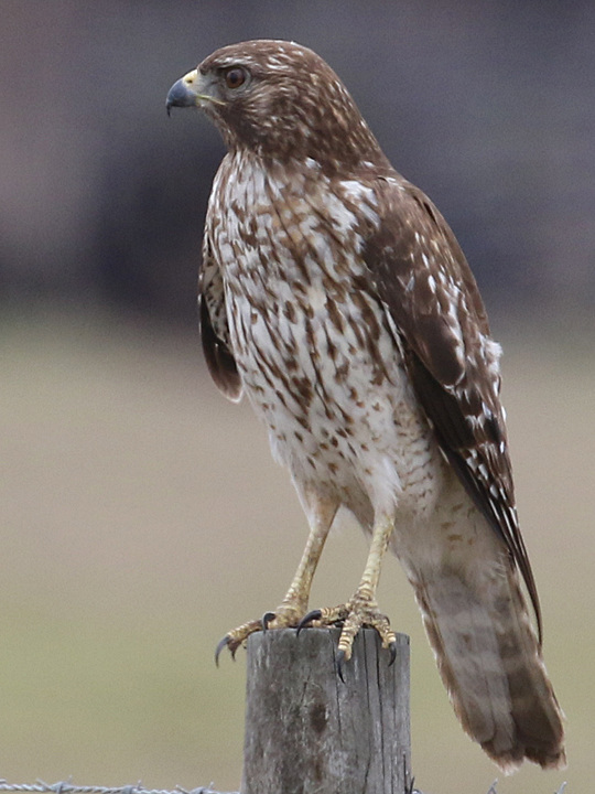 Red-shouldered Hawk RSHA