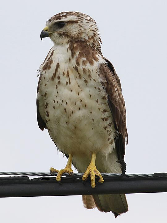 Swainson's Hawk SWHA
