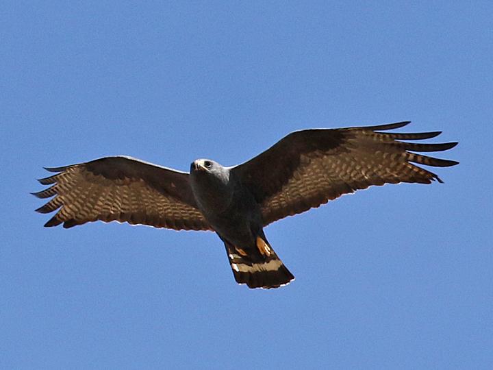 Zone-tailed Hawk ZTHA