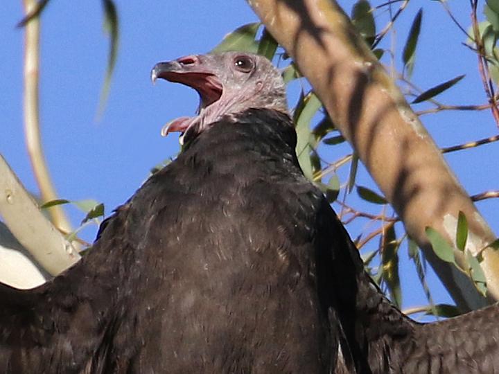 Turkey Vulture TUVU
