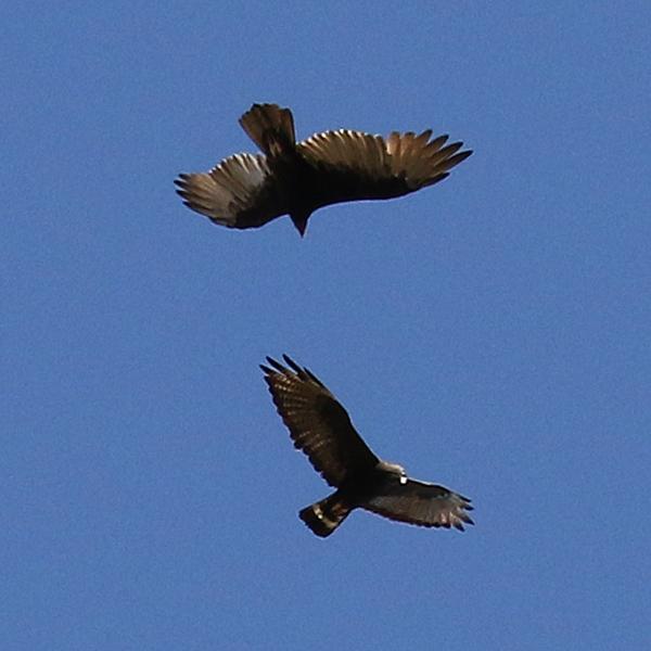 Zone-tailed Hawk V Turkey Vulture