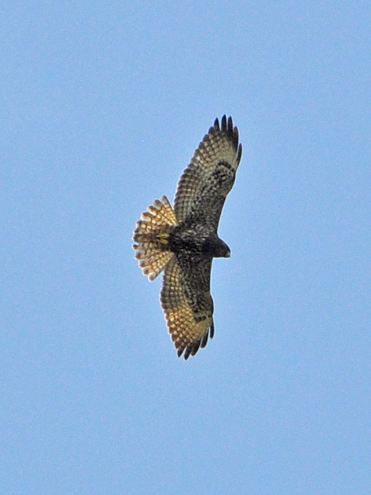 Short-tailed Hawk STHA