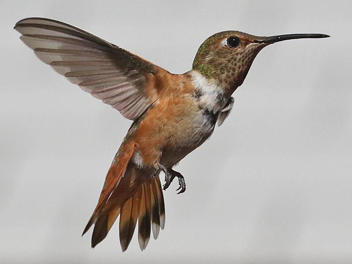Allen's Hummingbird ALHU HYM