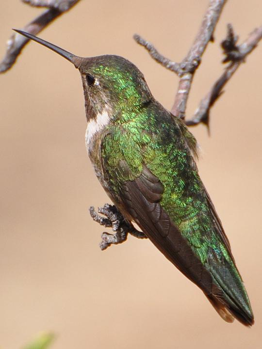 Broad-tailed Hummingbird BTAH male