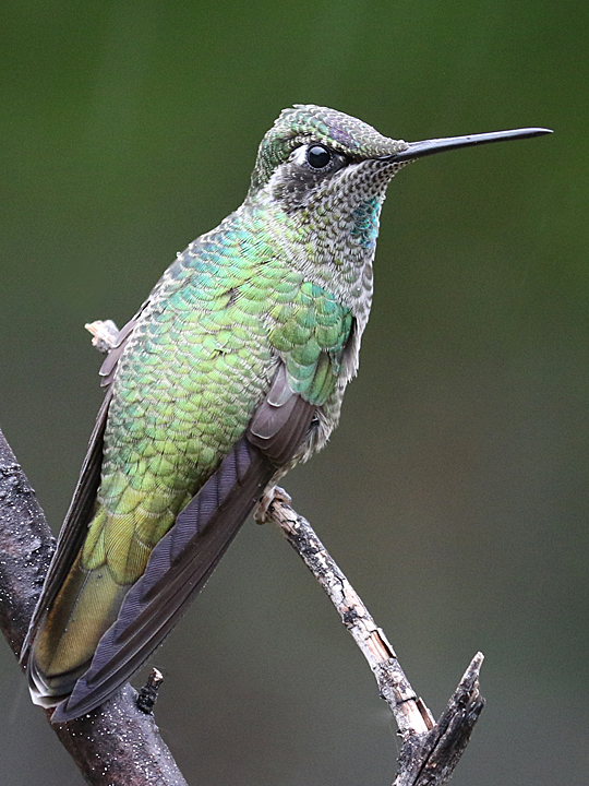 Magnificent Hummingbird MAHU