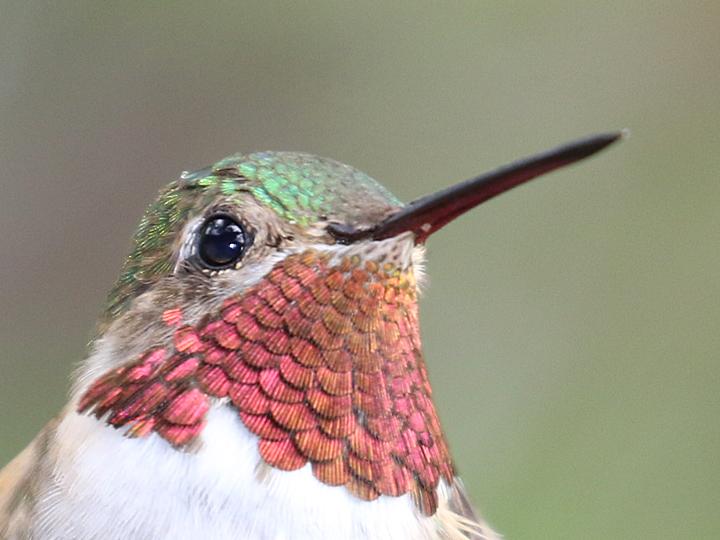 Broad-tailed Hummingbird BTAH