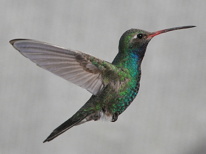 Broad-billed Hummingbird BBIH