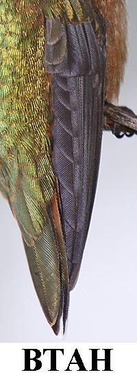 Broad-tailed Hummingbird wing