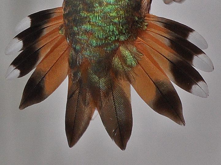 Rufous Hummingbird AHYF