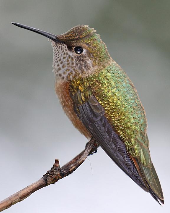 Broad-tailed Hummingbird BTAH juvenile