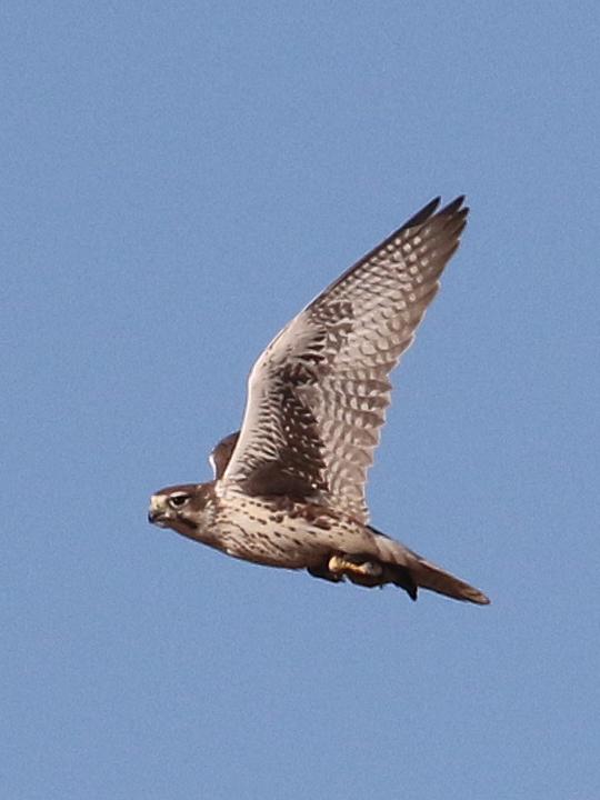 Prairie Falcon PRFA
