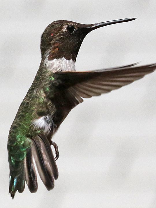 Anna's Hummingbird ANHU AHYM