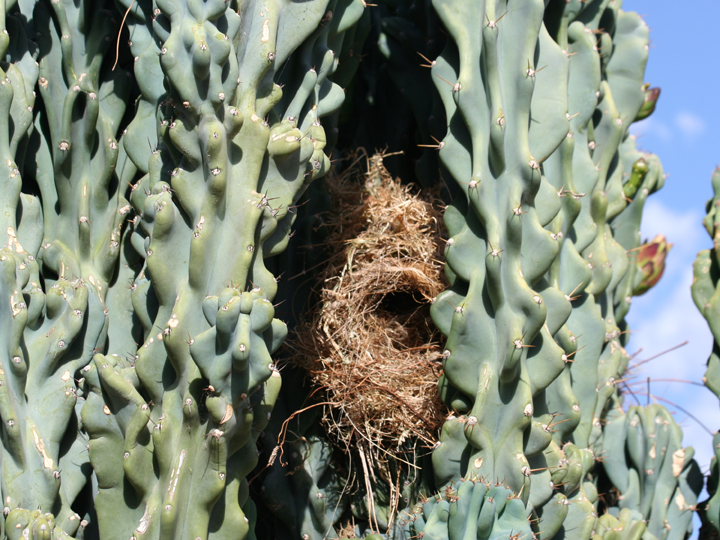 Cactus Wren nest