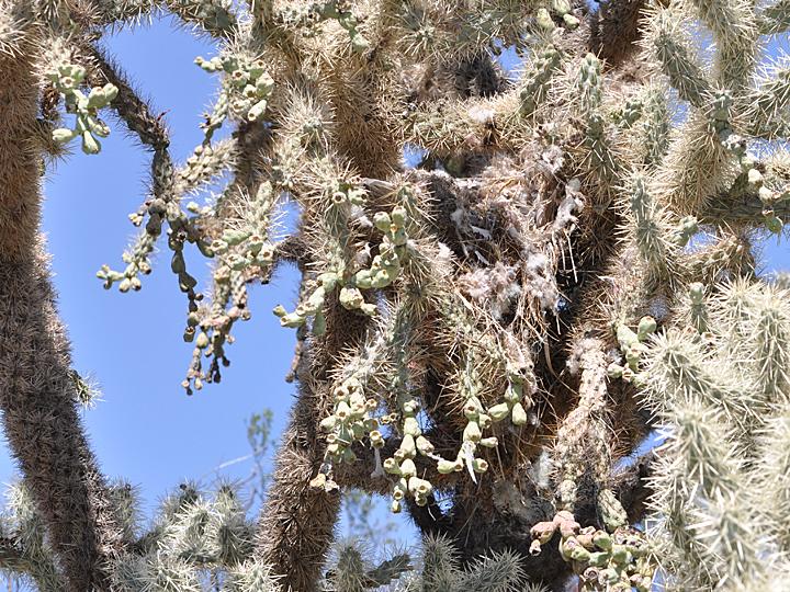 Cholla cactus with Cactus Wren nest