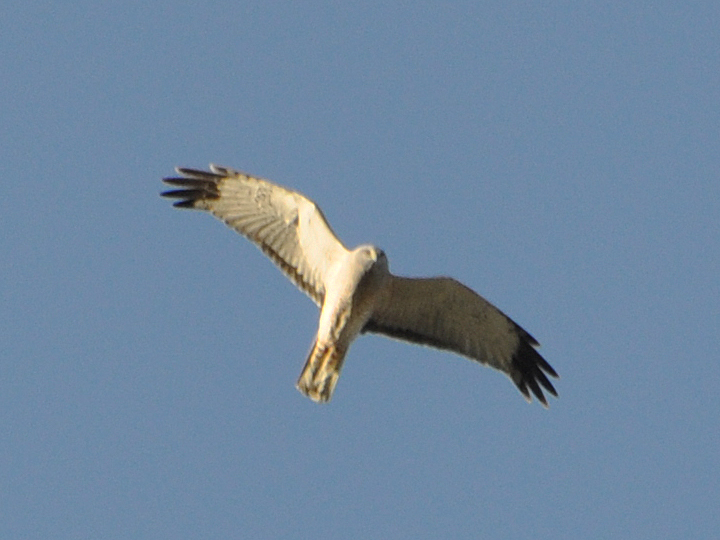 Northern Harrier adult male