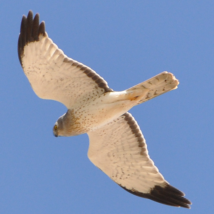 Northern Harrier male adult