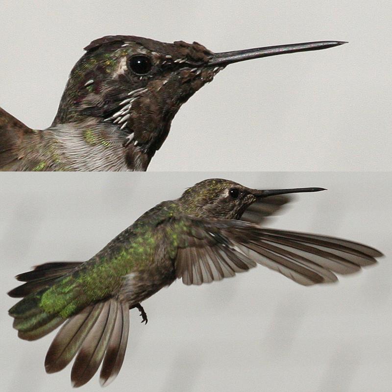 Anna's Hummingbird molt