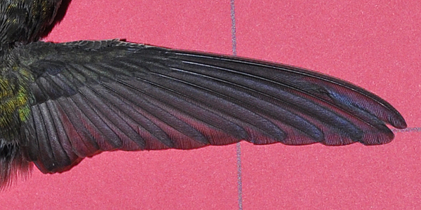Anna's Hummingbird wing