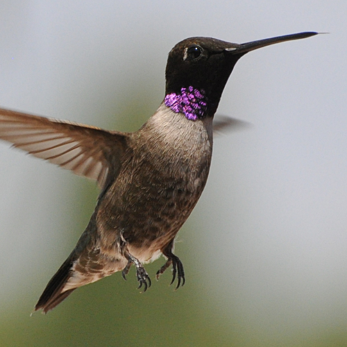 Black-chinned Hummingbird male after hatch year