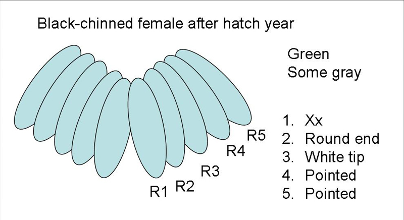 Black-chinned Hummingbird female after hatch year tail diagram