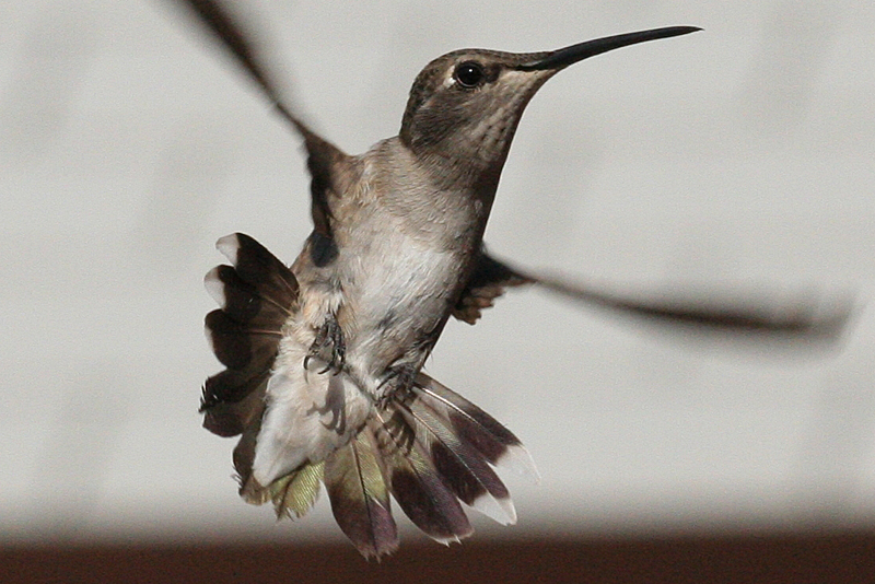 Black-chinned Hummingbird female after hatch year