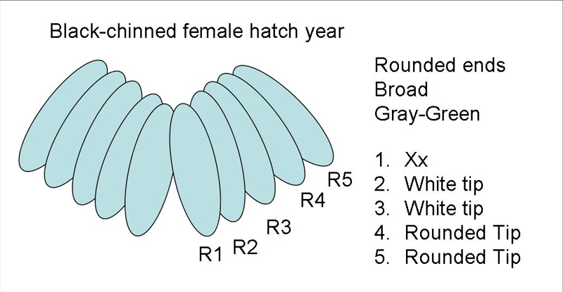 Black-chinned Hummingbird female hatch year tail diagram