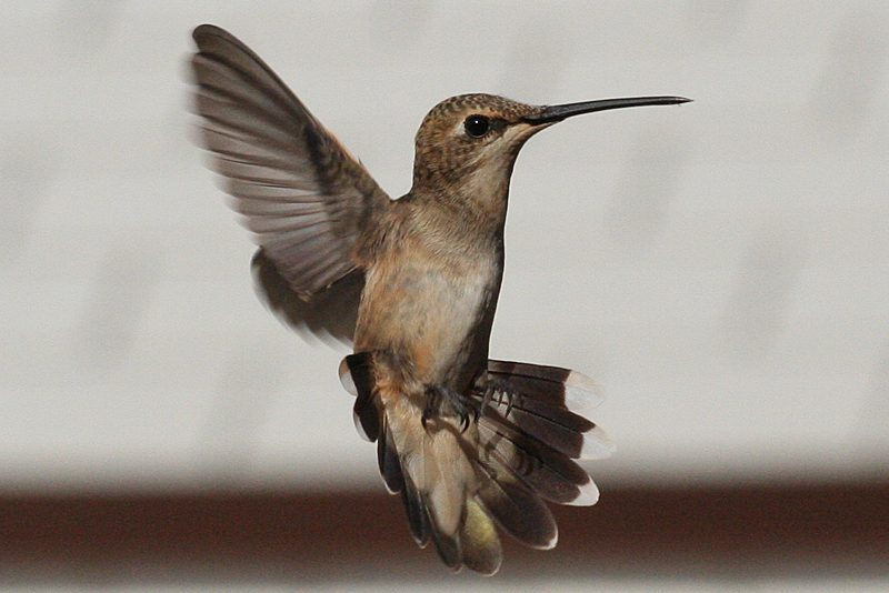 Black-chinned Hummingbird female hatch year