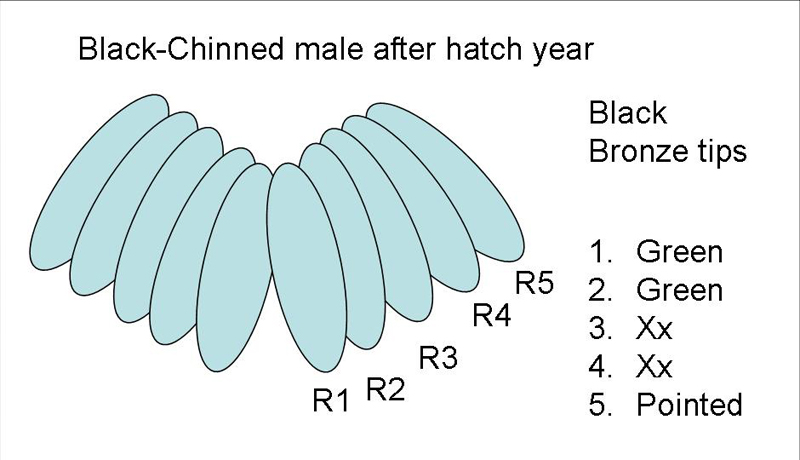 Black-chinned Hummingbird male after hatch year tail diagram