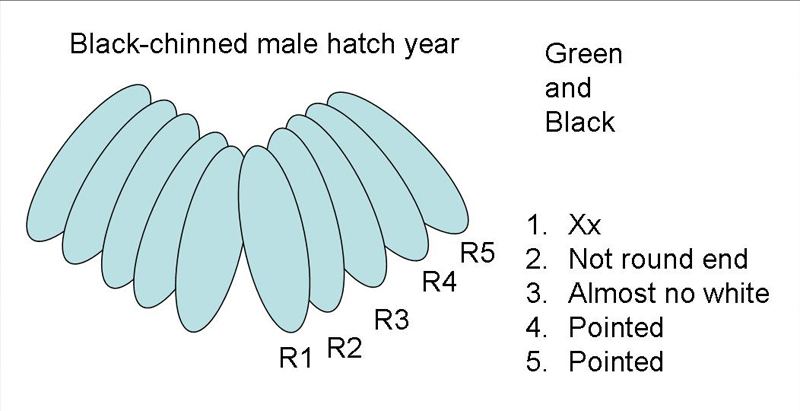 Black-chinned Hummingbird male hatch year tail diagram