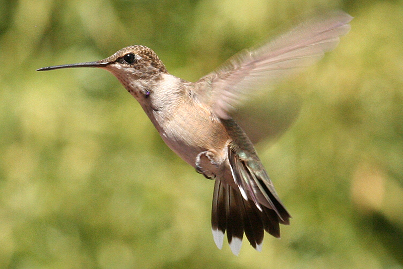 Black-chinned Hummingbird male hatch year