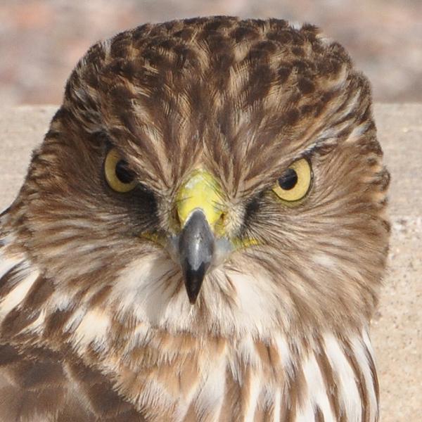 Cooper's Hawk juvenile