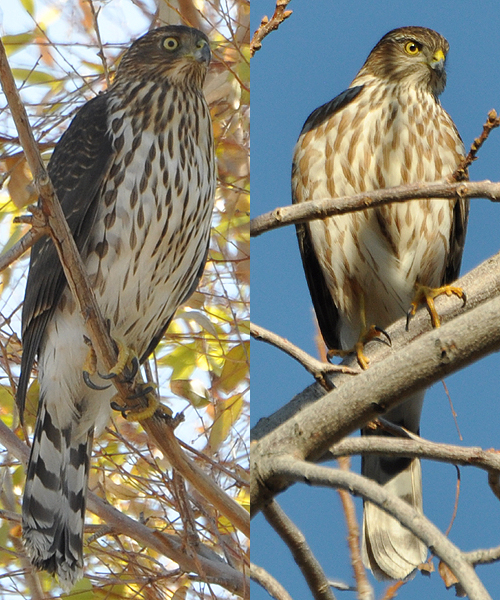 Cooper's Hawk vs Sharp-shinned Hawk