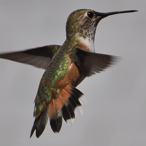 Rufous Hummingbird after hatch year female