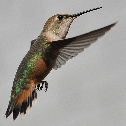 Rufous Hummingbird female hatch year