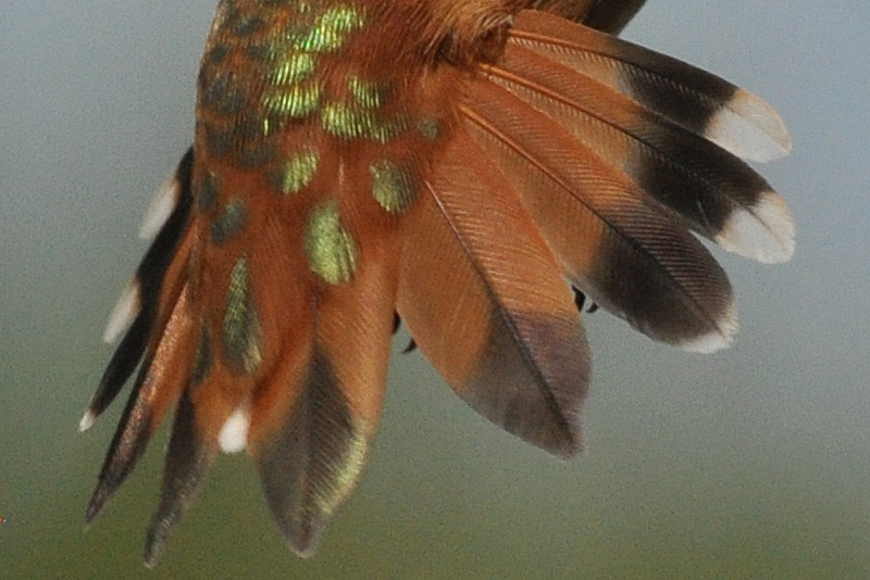 Rufous Hummingbird male hatch year tail