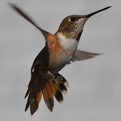 Rufous Hummingbird male hatch year