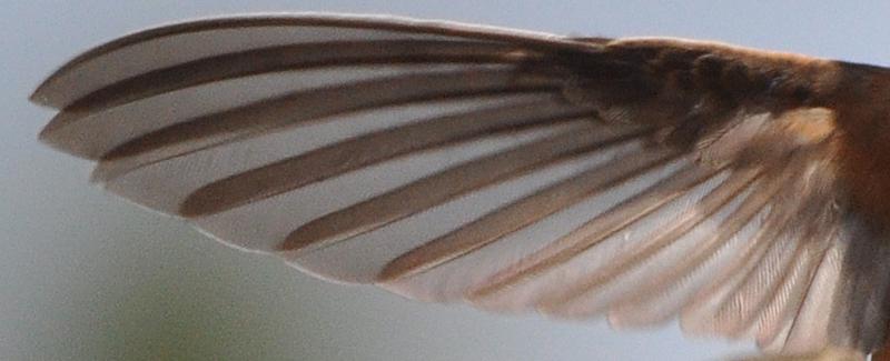 Rufous Hummingbird wing