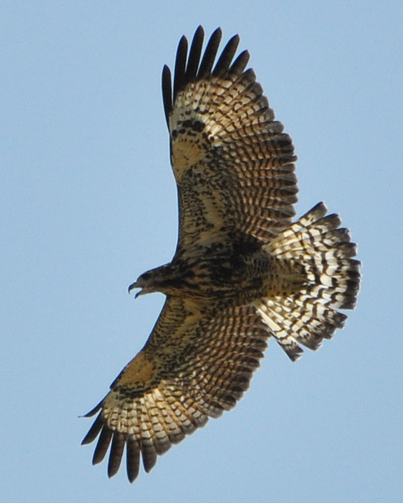 Common Black-Hawk Juvenile