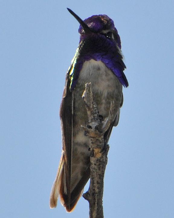 Costa's Hummingbird male