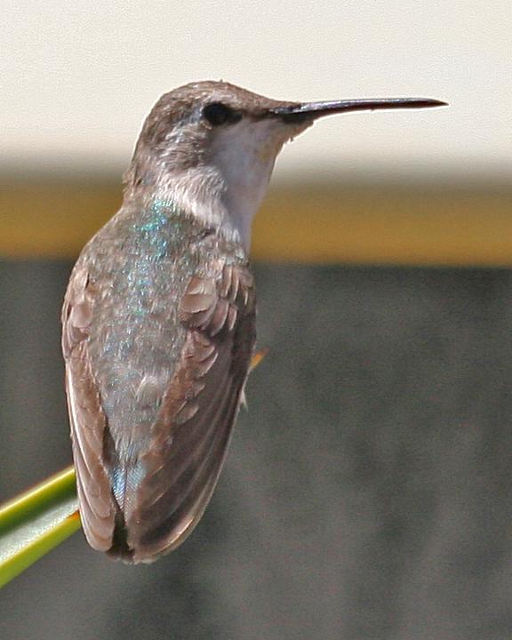 Costa's Hummingbird female
